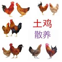 供应土鸡散养,土鸡散养批发出壳已做疫苗