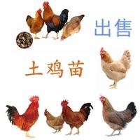 供应土鸡出售,土鸡出售价格出壳已做疫苗