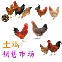 正宗土鸡销售市场批发,土鸡销售价格