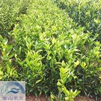 正宗柑桔苗晴姬,柑橘新品种,小果型早熟杂柑,宜设施栽培