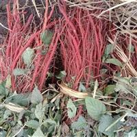 亳州紫丹参种苗传统种植技术视频