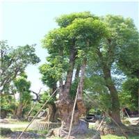 供应秋枫树 贵州秋枫移植苗 基地直供 多规格供应