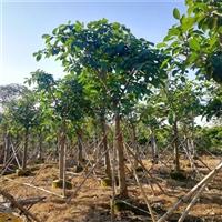 高山榕价格 云南高山榕假植苗 绿化工程苗木  量大多优