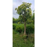 高山榕价格 贵州高山榕移植苗 规格齐全 欢迎询价