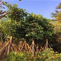 精品高山榕 湖北高山榕假植苗 绿化工程苗木  量大多优
