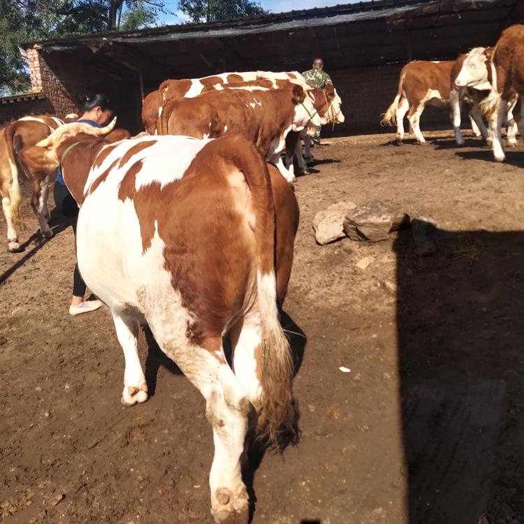 六百斤的西门塔尔母牛 要红白花的宏图牛业 现在的价格