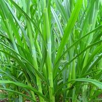 进口高丹草种子批发 养殖牛羊高丹草苏丹草 甜高粱种子
