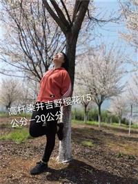 上海染井吉野樱花市场价格 大量供应8公分染井吉野樱花