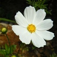 常年供应波斯菊种子 百日草种子波斯菊 波斯菊草种子