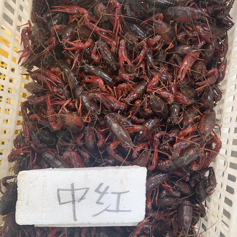 中紅4到6錢規格鮮活小龍蝦楚淼水產2021年9月26日活動價21元每斤