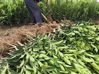 由良蜜桔苗栽种特点 千思农林基地售后提供栽种、管理技术咨询