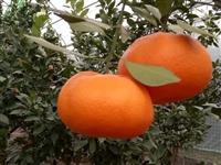 千思农林供应甘平柑橘苗、甘平果实肉质细嫩化渣