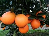 2020年纽荷尔脐橙苗价格、千思农林纽荷尔脐橙苗均高60