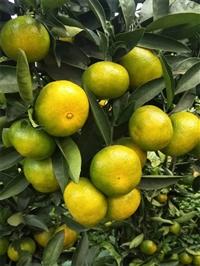 特早大分四号柑橘 供应大分早生柑橘苗 大分四号挂果情况