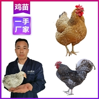 怒江雞苗孵化基地 供應優質項雞苗 云南雞苗價錢