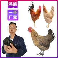 大理雞苗一只價錢 供應優質清遠雞苗 云南雞苗孵化基地