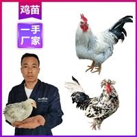 迪慶雞苗價錢 供應優質土雞 云南雞苗批發網