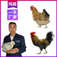 迪慶雞苗批發廠 供應優質肉雞苗 云南雞苗批發市場