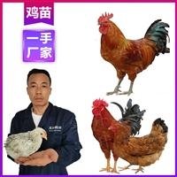 臨滄雞苗孵化機 供應優質白雞苗 云南雞苗孵化場