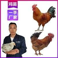 昭通雞苗批發廠家 供應優質817雞苗價格 云南雞苗價格