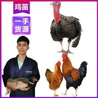楚雄雞苗散養 供應優質K9雞苗 云南雞苗價位