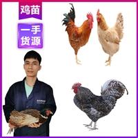 西雙版納雞苗脫溫技術 供應優質蘆丁雞 云南雞苗品種