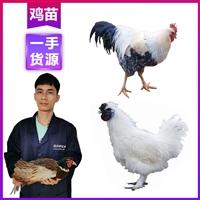 昭通雞苗批發 供應優質小雞 云南雞苗養雞場
