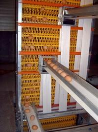 供应养鸡自动纵向/横向集蛋机 中央升降捡蛋机设备