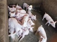 贵港杜洛克公猪200斤行情表  20斤原种梅山母猪价格表