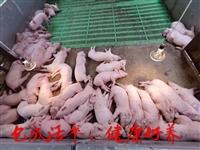 重庆种猪场仔猪苗价格二元母猪