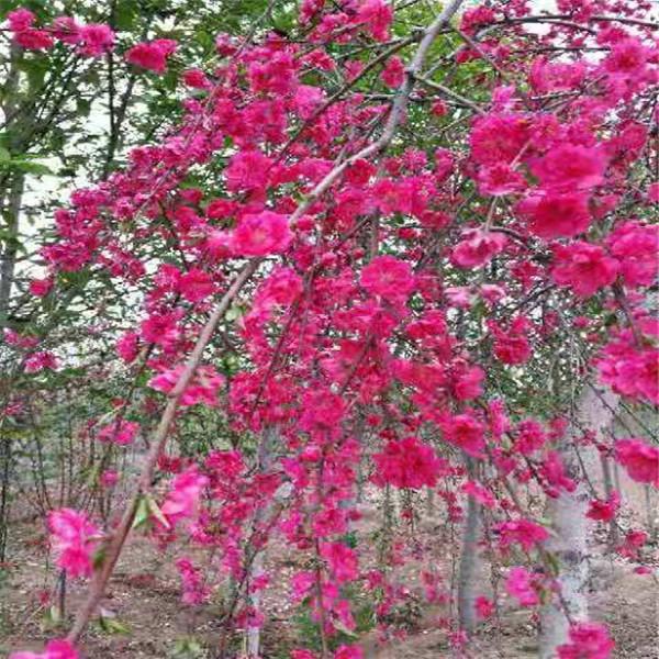 樱花价格高杆染井吉野阳光樱,观赏碧桃