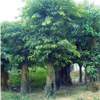 大叶榕容器苗 四川大叶榕移植苗 量大从优 各种规格