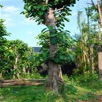 大叶榕 贵州全冠大叶榕 量大从优 各种规格