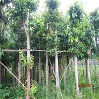 大叶榕批发 重庆大叶榕丛生袋苗 自家苗圃出售