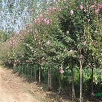 木槿树苗产地直销 优质木槿树苗价格