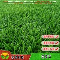 松源草坪 結縷草 暖季草坪 結縷草虎皮草根系發達 耐踐