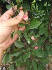 基地当年嫁接矮化果树苗 柱状苹果树苗批发 厂家批发红肉苹果