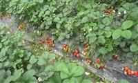 草莓苗 草莓苗批发价格价格_草莓苗批发价格批发