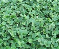 草莓苗 草莓苗种植价格_草莓苗批发-草莓种植厂家