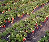草莓苗 草莓苗基地 优质草莓苗繁育中心