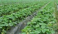 草莓苗 草莓苗基地 草莓苗批发 草莓种苗