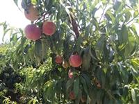 桃树苗秋彤桃树苗基地、秋彤桃树苗栽植时间 桃树苗价格