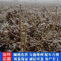 铜川市乌龙头苗 一手货源 乌龙头小苗 高产耐寒