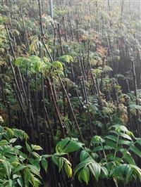 大棚香椿苗香椿苗基地,香椿苗价格, 山东香椿苗