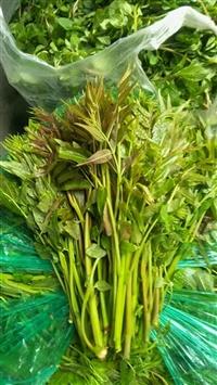 大棚香椿苗 红油香椿苗_优质红油香椿苗基地_红油香椿苗价格
