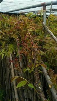 香椿苗基地  香椿苗种植基地  香椿苗供应基地
