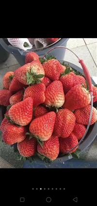 草莓苗 草莓苗价格 牛奶草莓苗基地 甜查理草莓苗低价供应