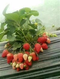 草莓苗优质草莓苗 批发草莓苗 草莓苗基地供应