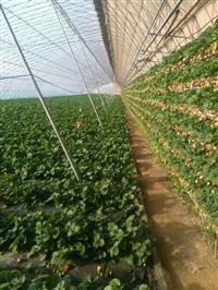 草莓苗 草莓苗繁育技术---甜查理草莓苗基地