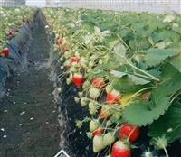 草莓苗 草莓苗种植 草莓苗价格批发